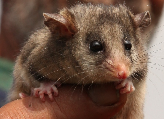 Burramys parvus - Mountain Pygmy Possum
