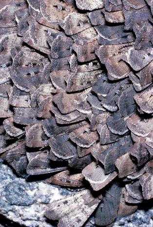 A huddle of Bogong Moths - https://www.scienceimage.csiro.au/tag/moths/i/2192/a-huddle-of-bogong-moths/