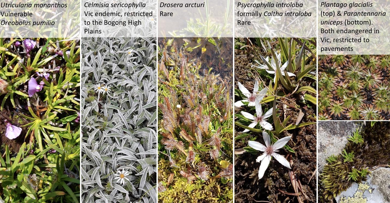 species in caltha herblands